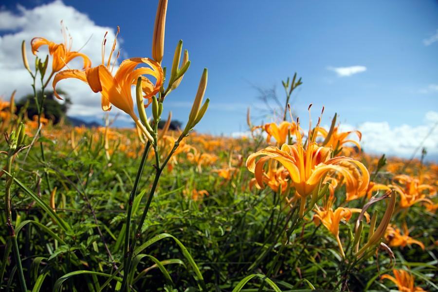 花蓮兩大金針山盛開燦爛